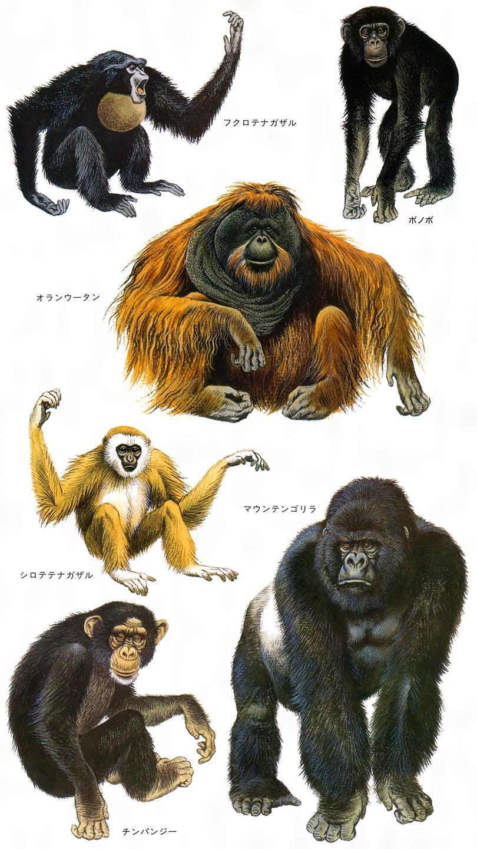大型手長猿2020.07.27
